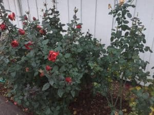 winterizing roses
